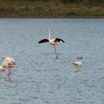 Flamingos in June 2014