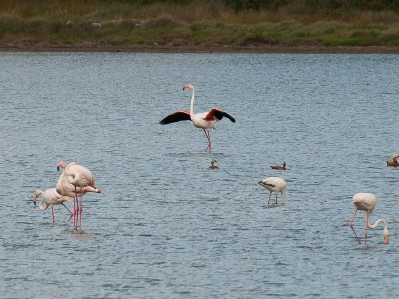 Flamingos in June 2014 at Alyki near Psili Ammos